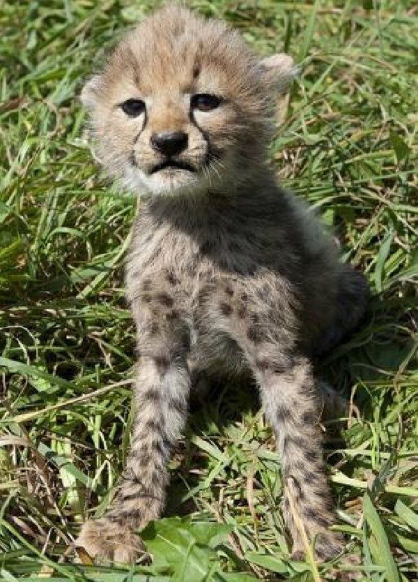 Servals , F1 savannahs, ocelots and cheetah cubs available Picture